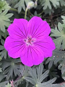 GERANIUM hybrid 'Tiny Monster', Bloody Crane's Bill