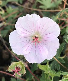 GERANIUM sanguineum var. striatum (lancastriense), Bloody Crane's Bill