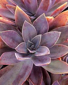 GRAPTOVERIA 'Fred Ives',