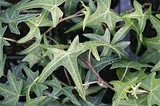 HEDERA helix 'Needlepoint', Miniature Bird Foot Ivy, English or Common Ivy
