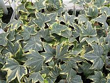 HEDERA helix 'Yellow Ripple', English or Common Ivy