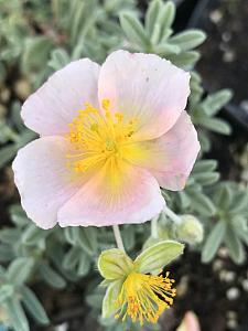 HELIANTHEMUM 'Cheviot Pink', Sunrose