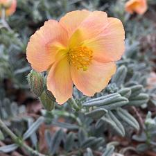 HELIANTHEMUM 'Cheviot', Sunrose