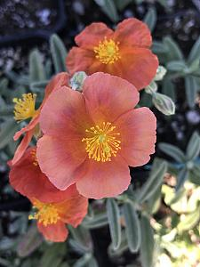 HELIANTHEMUM 'Fire Dragon', Sunrose