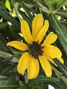 HELIANTHUS salicifolius 'Autumn Gold', Willowleaf Sunflower