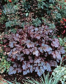 HEUCHERA hybrid 'Amethyst Myst', Alum Root, Coral Bells