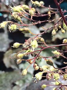 HEUCHERA 'Palace Purple', Alum Root, Coral Bells