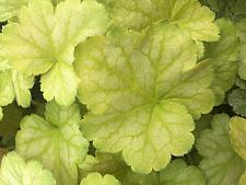 HEUCHERA hybrida 'Pinot Bianco', Coral Bells