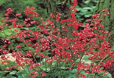 HEUCHERA sanguinea 'Ruby Bells', Alum Root, Coral Bells