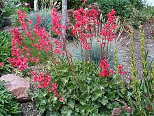 HEUCHERA sanguinea 'Splendens', Alum Root, Coral Bells