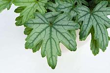 HEUCHERELLA Kirella 'Fresh Green', Kirella Series, Alum Root, Coral Bells
