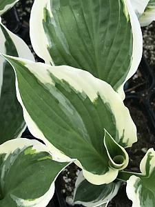 HOSTA fortunei 'Patriot', Plantain Lily