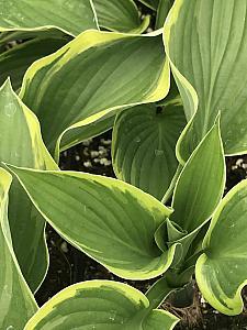 HOSTA fortunei 'Aureo-Marginata', Plantain Lily