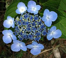 HYDRANGEA macrophylla 'Blue Wave' ('Mariesii Perfecta'), Big Leaf, Garden, Florist or French Hydrangea