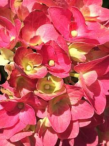 HYDRANGEA macrophylla 'Glowing Embers' ('Alpengluhen'), Big Leaf, Garden, Florist or French Hydrangea