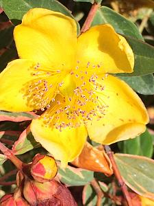 HYPERICUM x moserianum 'Tricolor', Tutsan, Gold Flower, St. Johns Wort