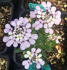 IBERIS gibraltarica 'Lavish', Evergreen Candytuft