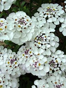 IBERIS 'Masterpiece', Candytuft