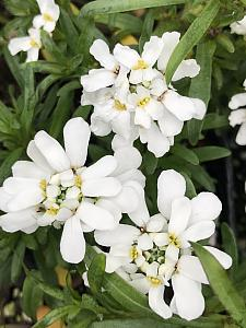 IBERIS sempervirens 'Tahoe', Evergreen or Edging Candytuft