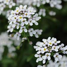 IBERIS amara 'White Heat', Evergreen Candytuft
