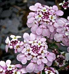 IBERIS hybrid 'Pink Ice', Candytuft
