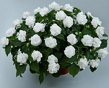 IMPATIENS walleriana 'Musica Pure White', Double Impatiens