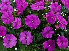 IMPATIENS hawkeri 'Sun Harmony Purple', New Guinea Impatiens