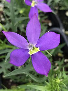 ISOTOMA axillaris Fizz n Pop 'Glowing Violet', Laurentia
