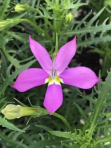 ISOTOMA axillaris Fizz n Pop 'Pretty in Pink', Laurentia