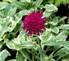 KNAUTIA macedonica 'Thunder and Lightning', Field Scabiosa
