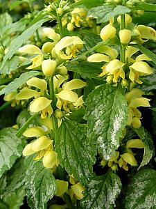 LAMIASTRUM galeobdolon 'Variegatum', Yellow Archangel