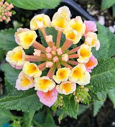 LANTANA camara 'Bandana Peach', Weeping or Trailing Lantana, Polecat Geranium