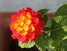 LANTANA 'Dallas Red', Weeping or Trailing Lantana, Polecat Geranium