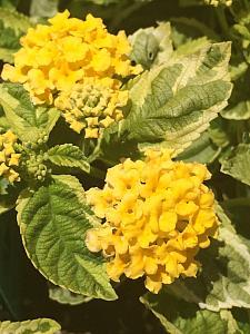 LANTANA 'Samantha', Weeping or Trailing Lantana, Polecat Geranium