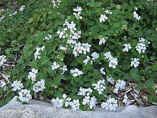 LANTANA montevidensis 'Trailing White', Weeping or Trailing Lantana, Polecat Geranium