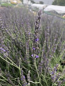 LAVANDULA 'Davy's Love', Davy's Love Lavender