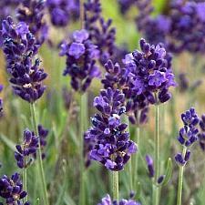 LAVANDULA angustifolia 'Ellagance Purple', Ellagance Series
