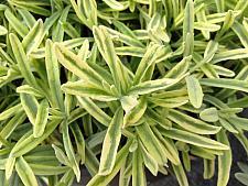 LAVANDULA angustifolia 'Platinum Blonde' ( L. Momparler' ), Variegated English Lavender