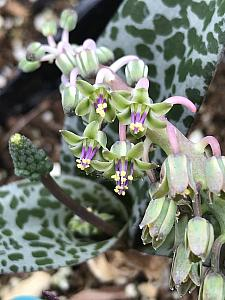 LEDEBOURIA socialis, Silver Squill, Wood Hyacinth, Leopard Lily