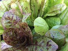 LETTUCE 'Freckles', Organic Heirloom Lettuce