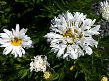 LEUCANTHEMUM x superbum 'Crazy Daisy', Shasta Daisy
