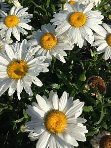 LEUCANTHEMUM x superbum 'Snowcap', Shasta Daisy
