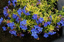 LITHODORA 'Gold 'n Sapphires',