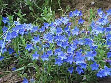 LITHODORA diffusa 'Heavenly Blue',