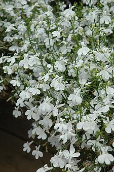 LOBELIA 'Techno Heat White', Lobelia