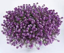 LOBULARIA maritima 'Deep Lavender Stream', Sweet Alyssum