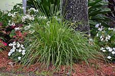 LOMANDRA longifolia 'Katrinus Deluxe',