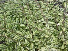 LONICERA nitida 'Lemon Beauty', Box or Boxleaf Honeysuckle