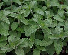 MENTHA 'Hillary's Sweet Lemon', Sweet Lemon Spearmint