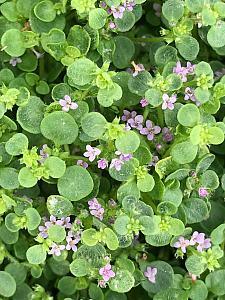 MENTHA requienii (Corsican Mint), Corsican Mint